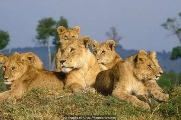 Leoas vivem em grupo, diferentemente de outras espécie de felinos