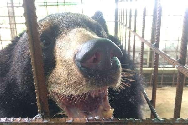 Urso em Mianmar